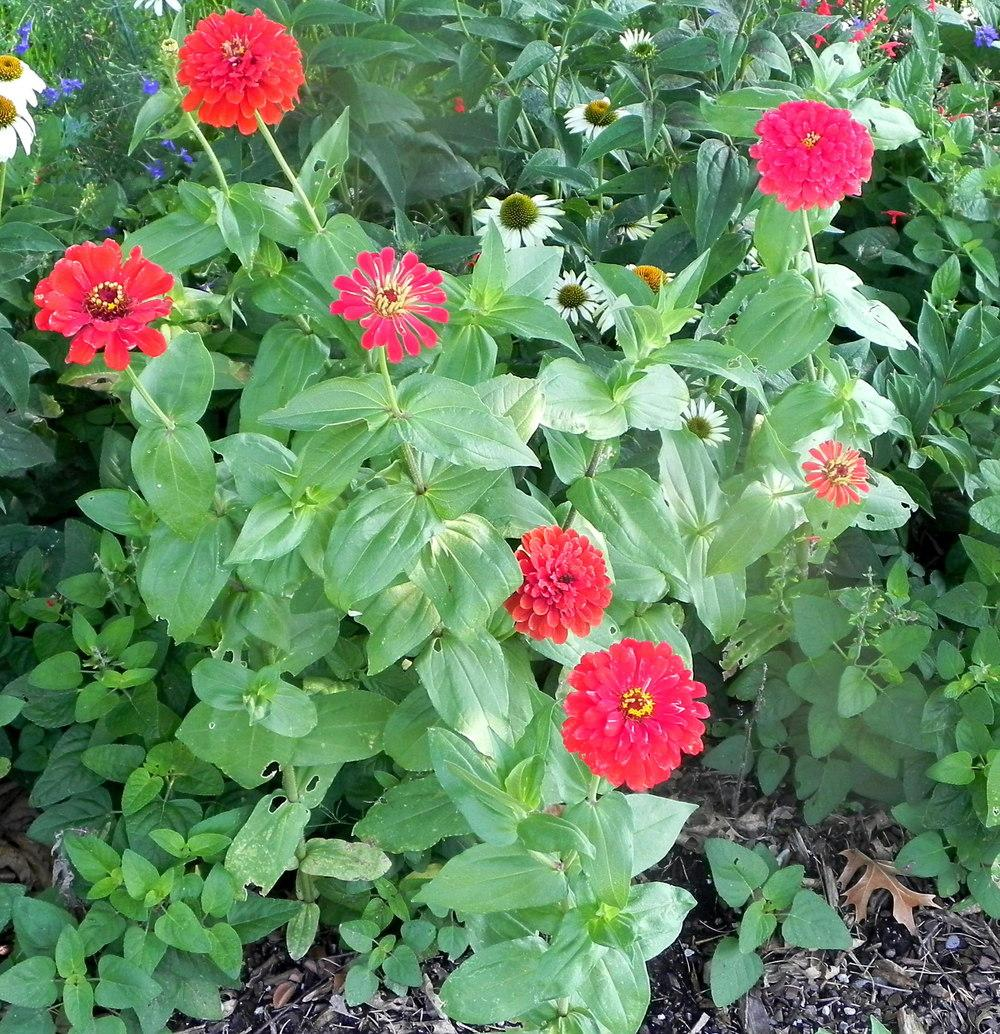 Photo of Zinnia (Zinnia violacea 'Scarlet Flame') uploaded by imabirdnut