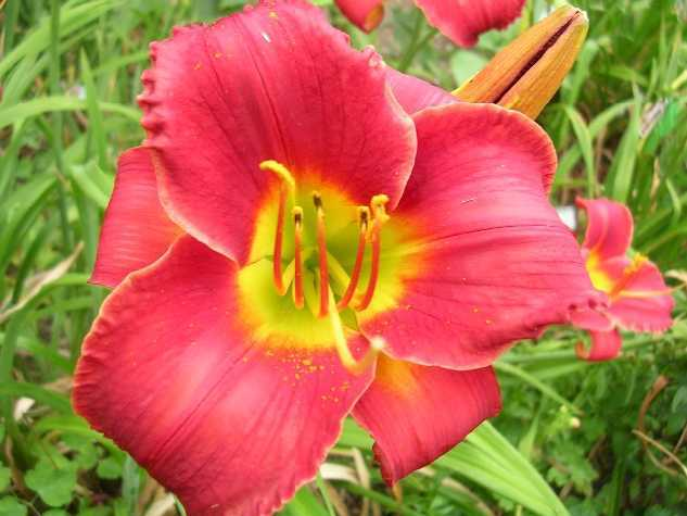 Photo of Daylily (Hemerocallis 'Broadmore Red') uploaded by Hemlady