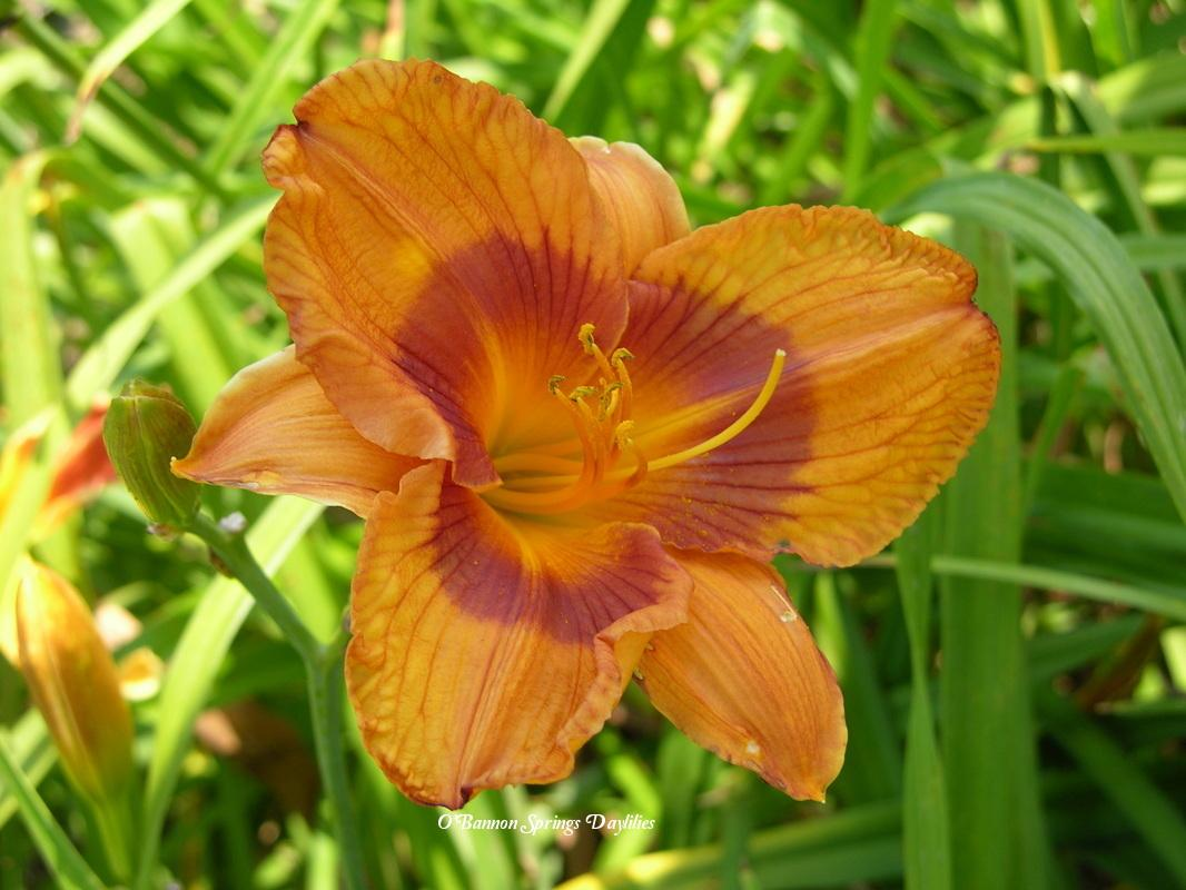Photo of Daylily (Hemerocallis 'Duke of Durham') uploaded by Joy