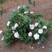 Location: My garden in northeast TexasDate: April 2 2012Our bush is small, probably needs to be moved to get more sun.