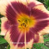 Photo Courtesy of O'Bannon Springs Daylilies. Used with Permissio