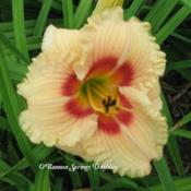 Photo Courtesy of O'Bannon Springs Daylilies. Used with