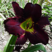 Photo Courtesy of Daylilies by the Lake. Used with Perm