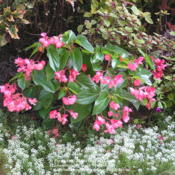 Location: My Cincinnati Ohio gardenDate: September 2012Dragon wing pink begonia