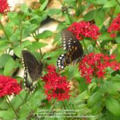 Location: Daytona Beach, FloridaDate: 2012-09-09 Spicebush Swallowtail's enjoying the nectar.