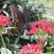 Location: Daytona Beach, FloridaDate: 2012-09-22 Pentas are Butterfly magnets! Seen here is the Spicebush Swallowt