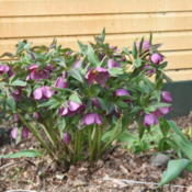 Location: My GardenDate: 2012-05-03This is a seedling fom one of my other hellebores. The baby is mu