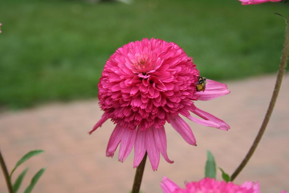 Photo of Coneflower (Echinacea 'Southern Belle') uploaded by 4susiesjoy