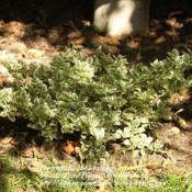 Location: Grand-Falls, N.B. CanadaDate: 2012-09-24Love the varigated leaves of this plant.