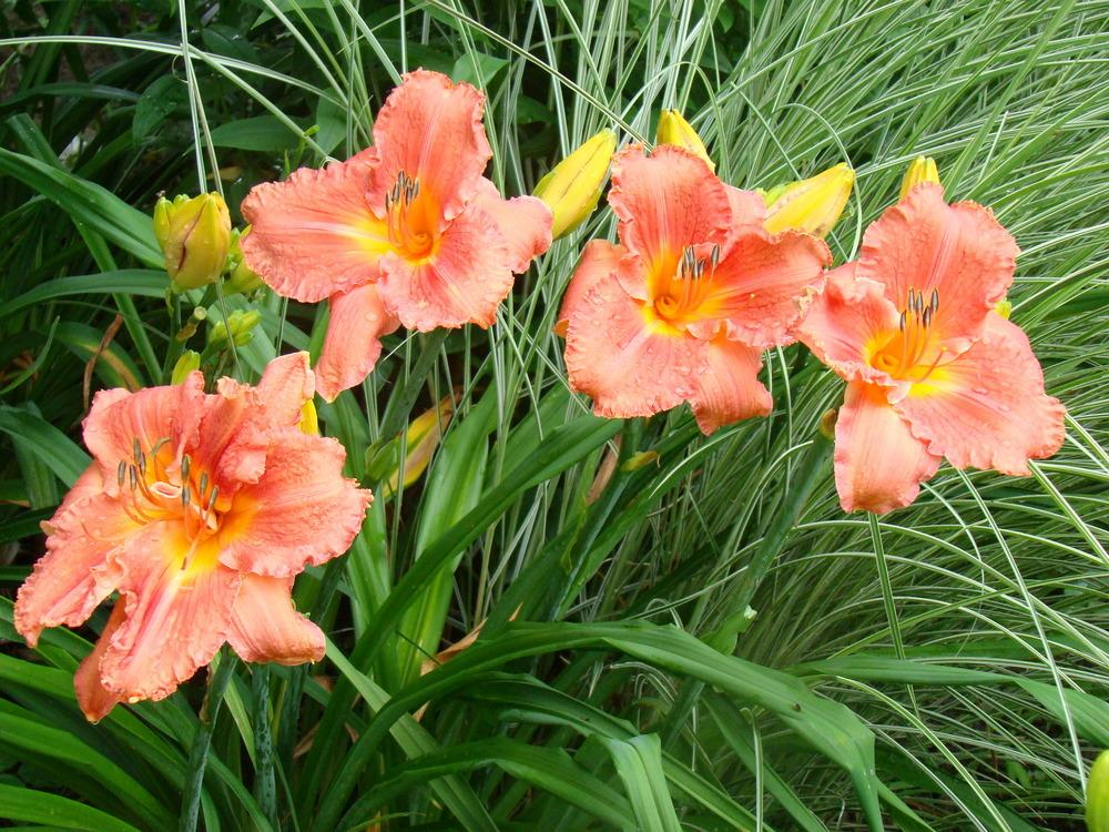 Photo of Daylily (Hemerocallis 'Watermelon Moon') uploaded by nh4me