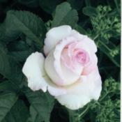 Location: My GardenDate: Moonstone is my favorite rose. It last a long time in arrangements and opens up beautifully.
