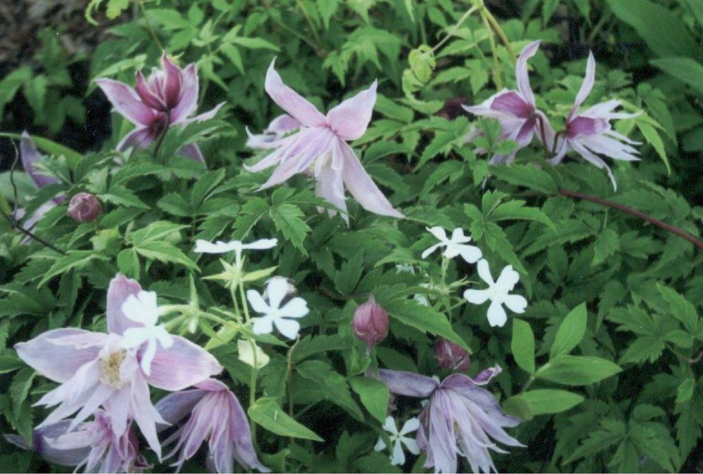 Photo of Clematis (Clematis macropetala 'Markham's Pink') uploaded by 4susiesjoy