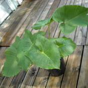Location: south FloridaDate: 2012-08-04Two S. giganteum plants in a 2 gallon pot, each with 3 leaves