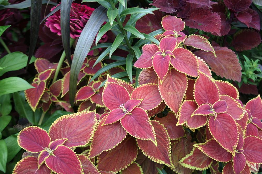 Photo of Coleus (Coleus scutellarioides 'Fire Dragon') uploaded by 4susiesjoy