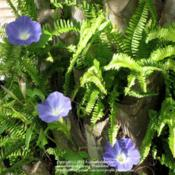 Location: Daytona Beach, FloridaDate: 2012-09-29 Morning Glories and Ferns growing on a Palm Tree