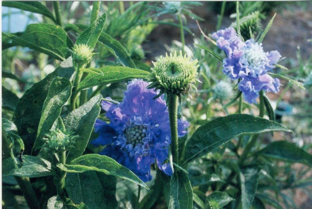 Photo of Pincushion Flower (Lomelosia caucasica) uploaded by 4susiesjoy