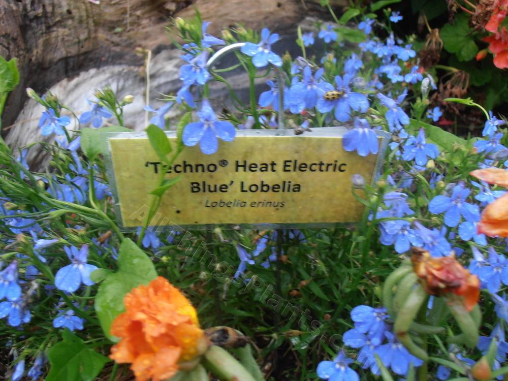 Lobelia Lobelia Erinus Techno Heat Electric Blue Gardenorg