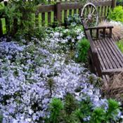 Location: My garden, Cottage-in-the-Meadow Gardens in South Amana, IADate: Spring 2011