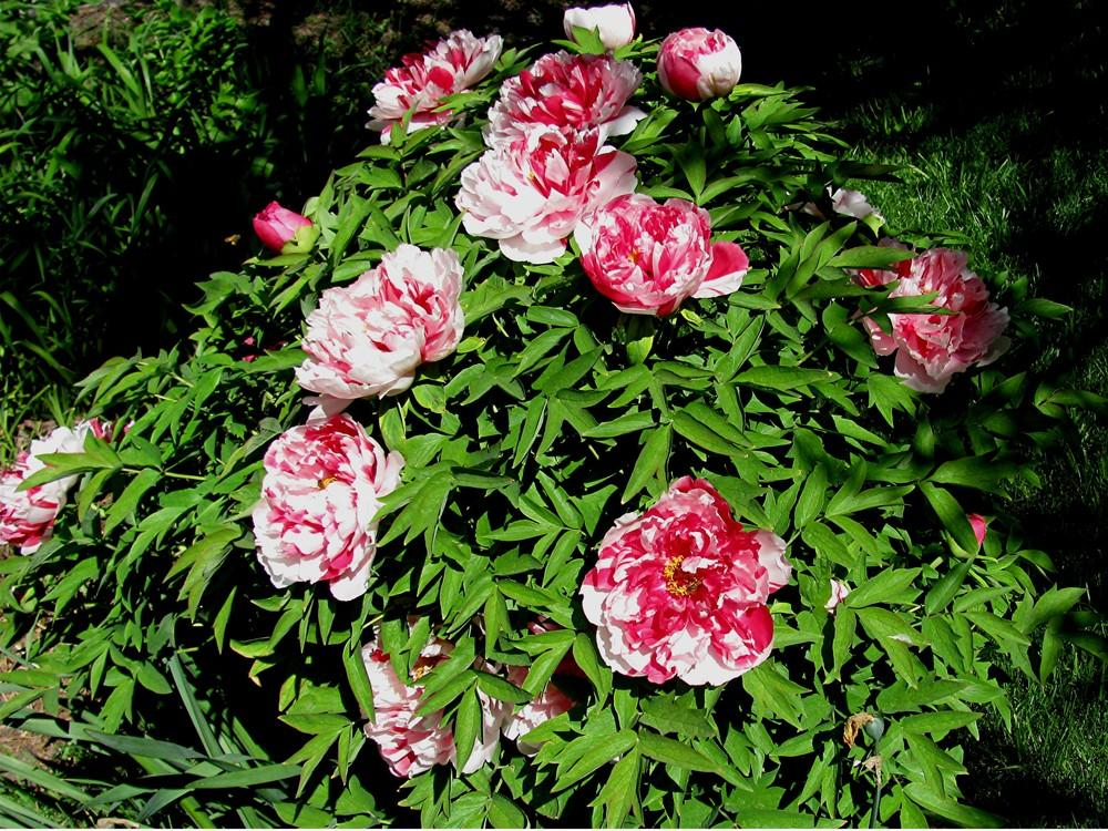 photo of the entire plant of tree peony paeonia x. Black Bedroom Furniture Sets. Home Design Ideas