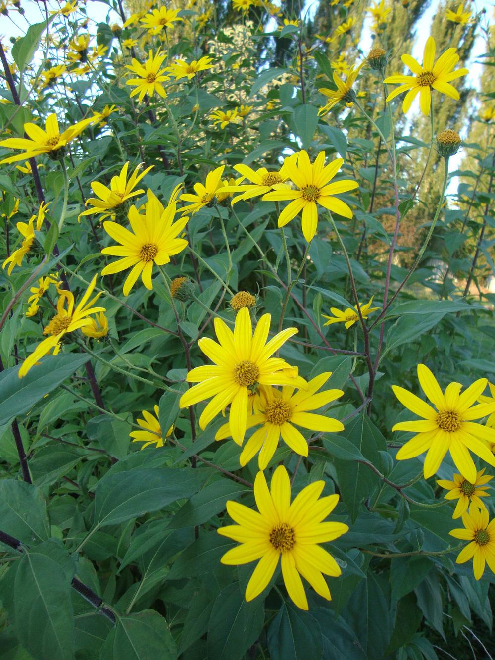 Photo of Sunroots (Helianthus tuberosus) uploaded by Paul2032