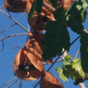 "Location: Denver Metro CODate: 2012-09-29You can see the seeds inside the ""lanterns\"""