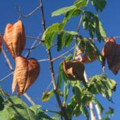 "Location: Denver Metro CODate: 2012-09-29the ""lanterns\"" as they're dried out."