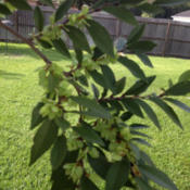 Location: Middleburg, FloridaDate: 2012-10-01Seeds about to mature.  Every fall the drake in my yard has thous