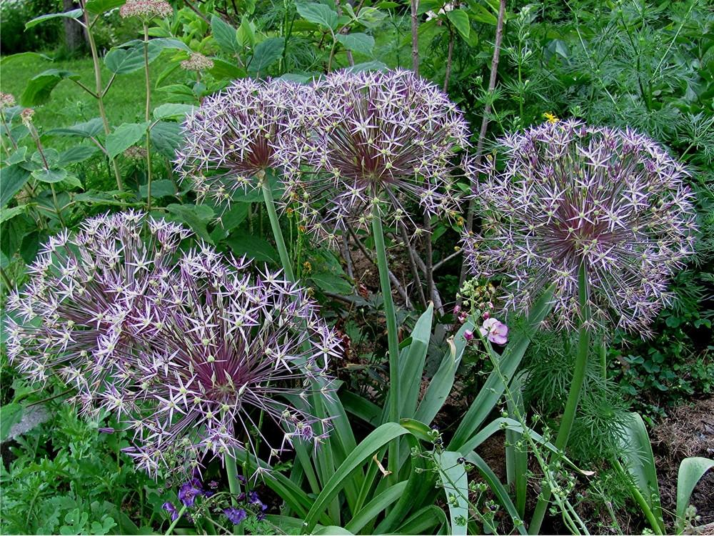 Photo of Stars of Persia (Allium cristophii) uploaded by LarryR