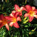 Welcome to Daylilies Week at All Things Plants