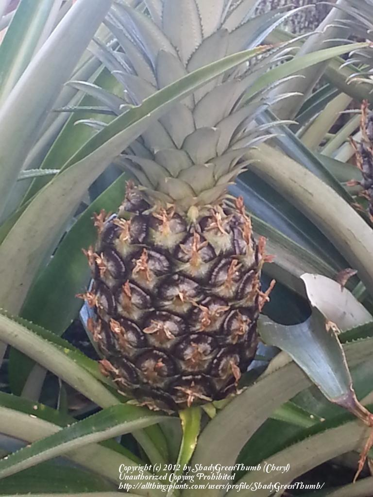 Photo of Pineapple (Ananas comosus) uploaded by ShadyGreenThumb