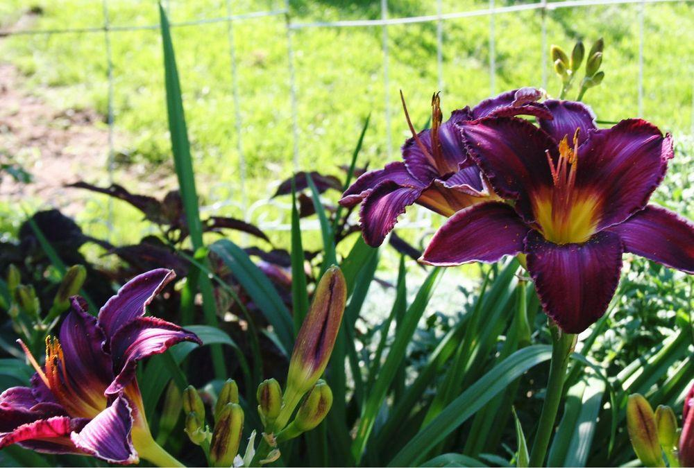 Photo of Daylily (Hemerocallis 'Jade Star') uploaded by 4susiesjoy