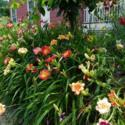 Daylilies in the Landscape: A Photo Tour