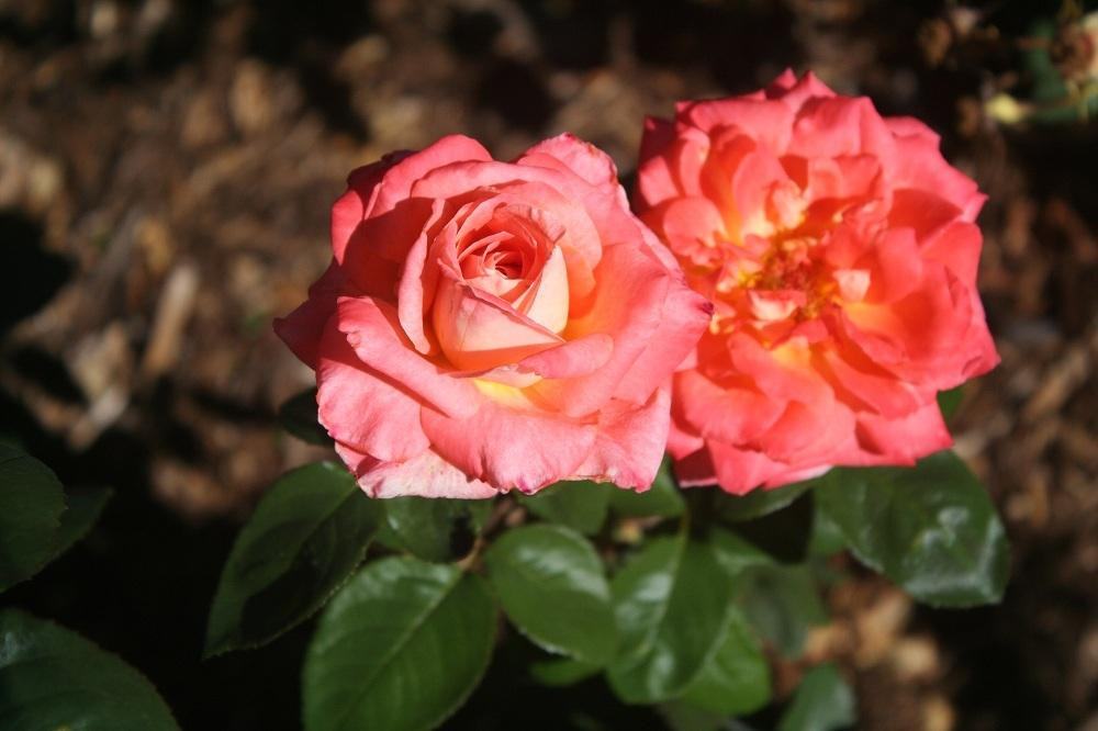 Photo of Rose (Rosa 'Octoberfest') uploaded by Skiekitty