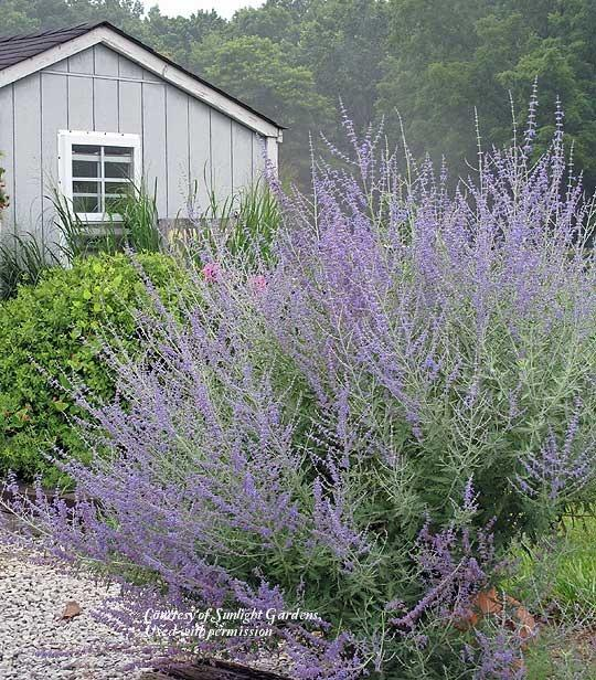 Russian Sage entire plant