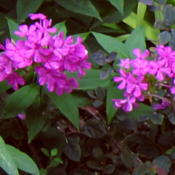 Location: Butterfly gardenDate: 6-29-2010Fuschia 'Robert Poore' Phlox