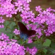Location: Butterfly gardenDate: 8-23-2009Beautiful Fuschia blooms of 'Robert Poore' Phlox