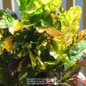 Location: Daytona Beach, FloridaDate: 2012-10-05 Close up of the colorful foliage.