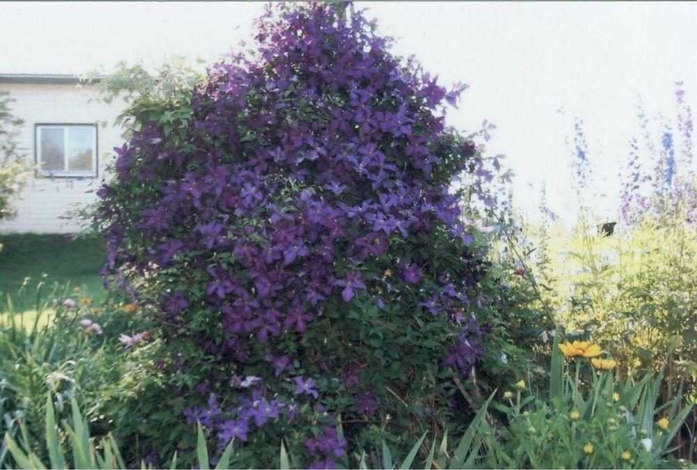 Photo of Clematis 'Jackmanii' uploaded by 4susiesjoy
