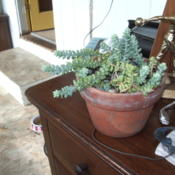 Location: 98108Date: 2012-10-08 Burro's Tail in pot