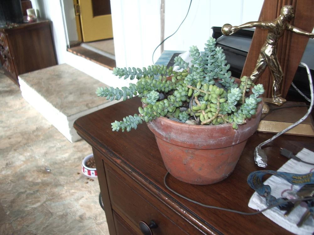 Photo of Baby Burro's Tail (Sedum burrito) uploaded by a2b1c3