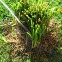 Make Dividing Daylilies Easier with a Strong Water Spray