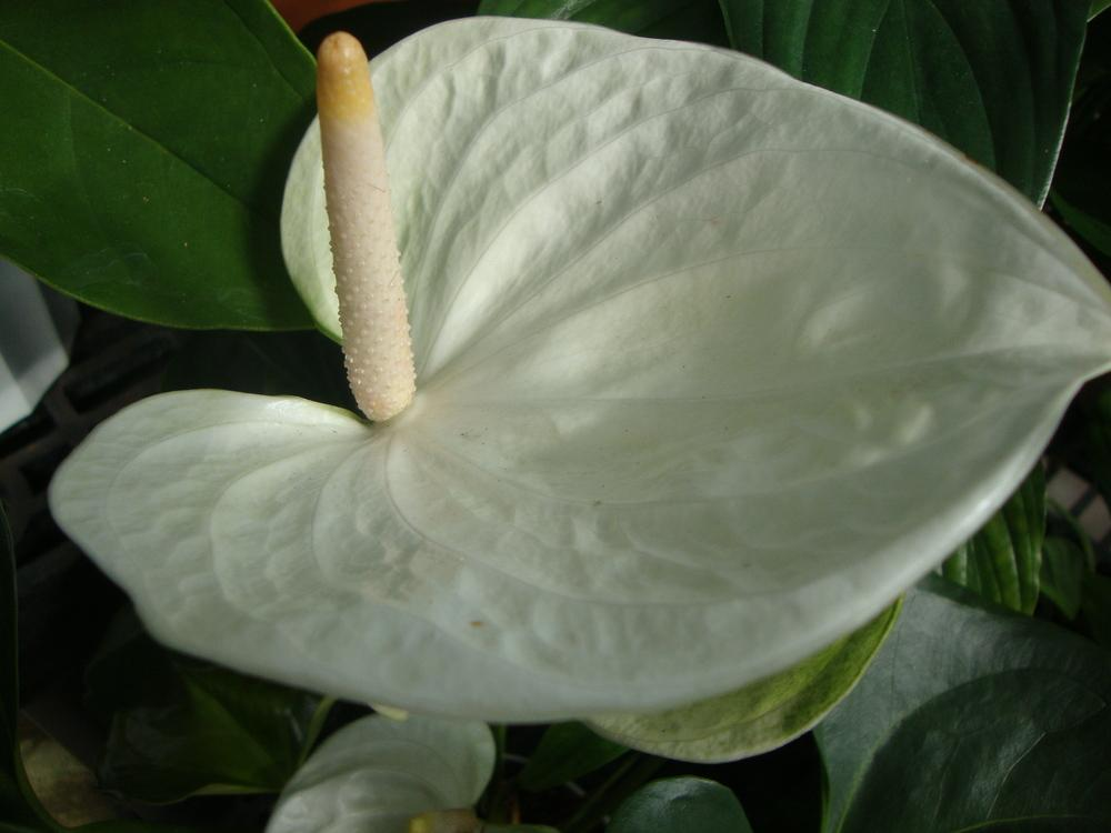 Photo of Anthuriums (Anthurium) uploaded by Paul2032