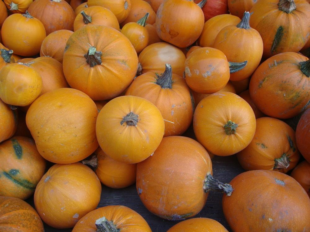 Photo of Pumpkin (Cucurbita pepo 'Sugar Pie') uploaded by Paul2032