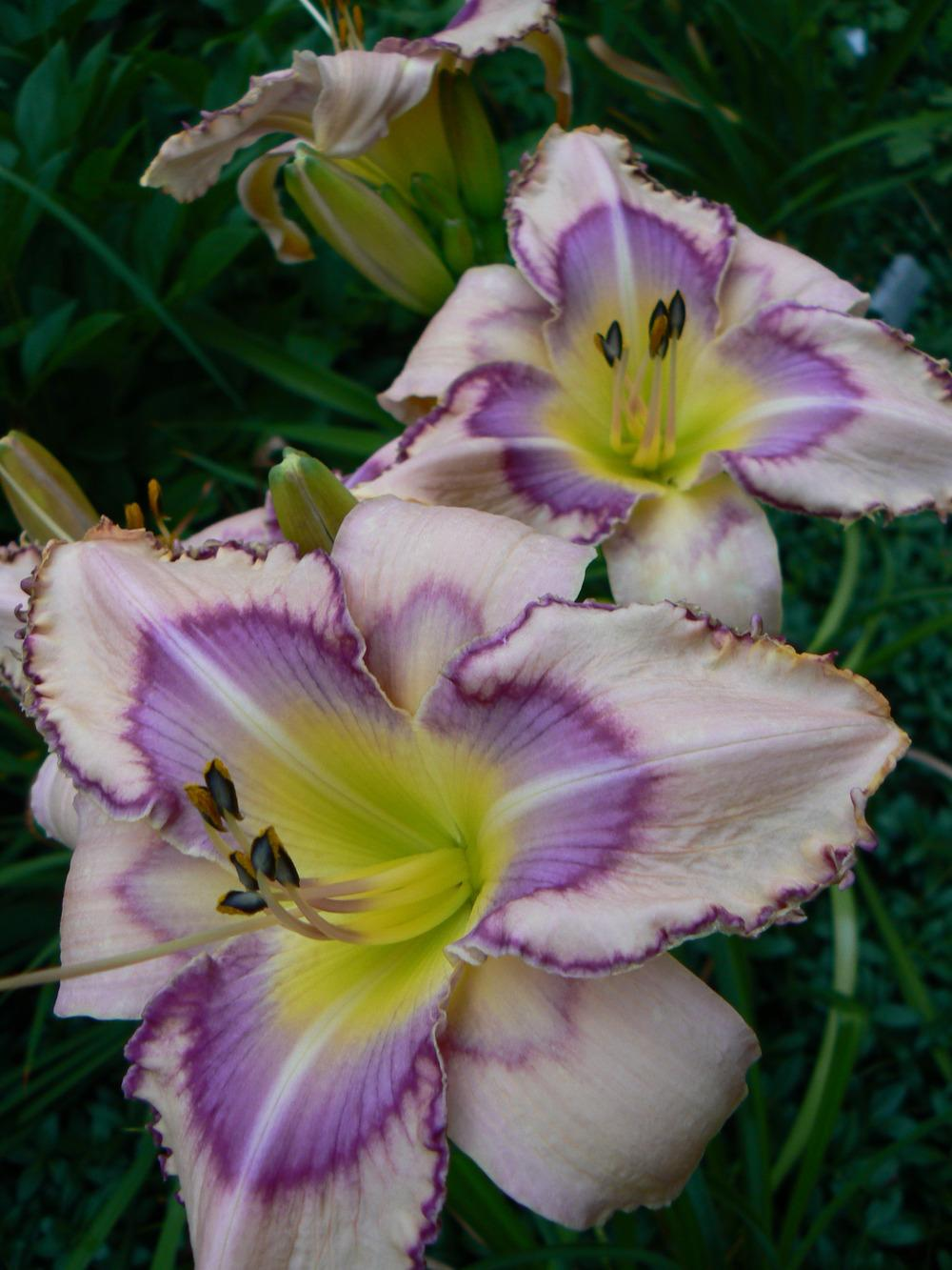 Photo of Daylily (Hemerocallis 'Handwriting on the Wall') uploaded by annred97