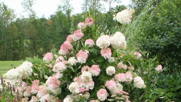 photo of the entire plant of peegee hydrangea hydrangea. Black Bedroom Furniture Sets. Home Design Ideas