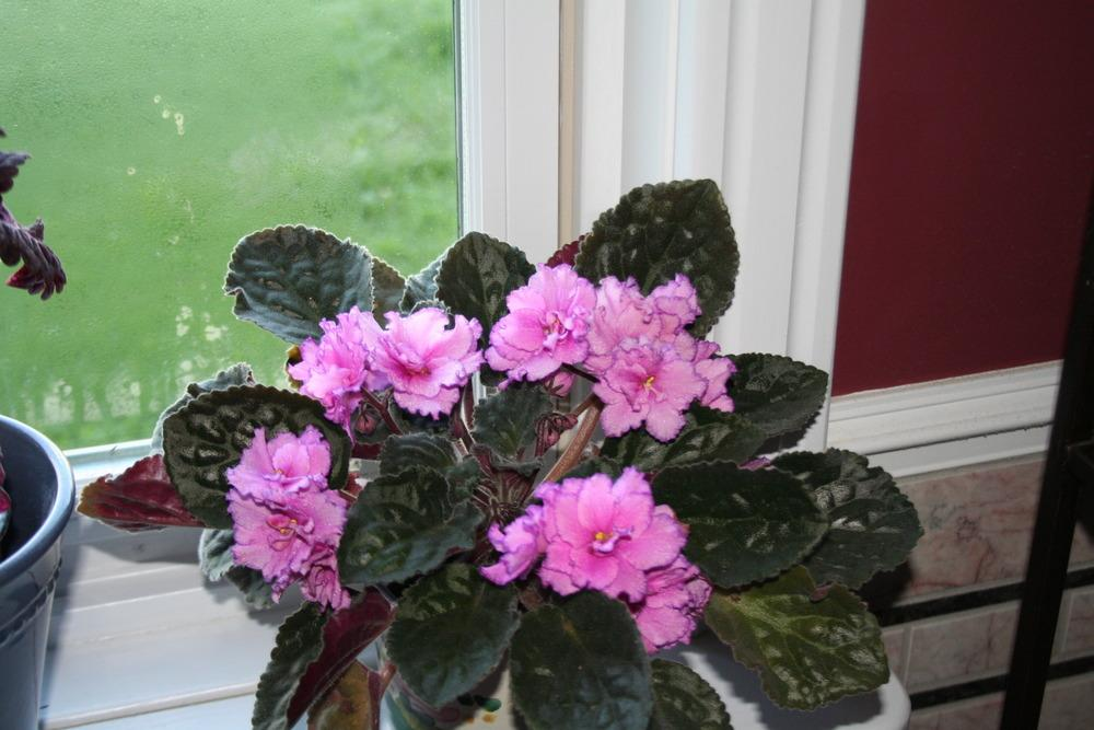 Photo of African Violet (Saintpaulia 'Buckeye Colossal') uploaded by 4susiesjoy