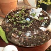 Location: TennesseeDate: 2012-01-30Partridgeberry makes a good terrarium or bowl plant