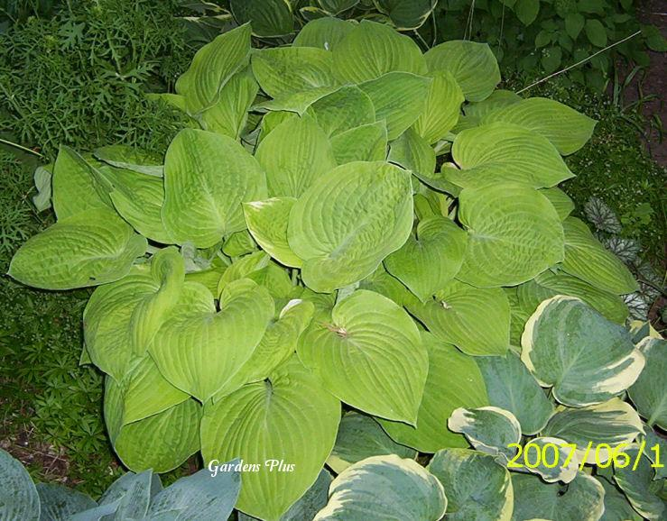 Photo of Hosta 'August Moon' uploaded by Joy