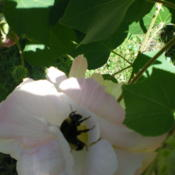 Location: my backyardDate: October 14, 2012These attract all manner of bees!