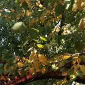 Location: Western KentuckyDate: 2012-10-16Changing to fall color